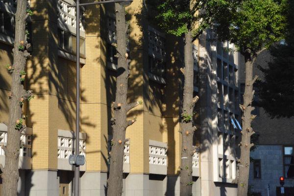伐採準備のため枝打ちされた銀杏。すんでの所で命拾いした。=2日、神田警察通り 撮影:筆者=